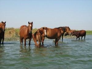 Кормление лошадей в походе - Конные походы