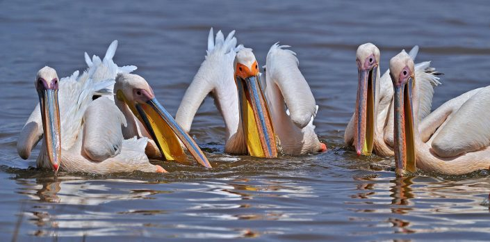 пеликаны ловят рыбу